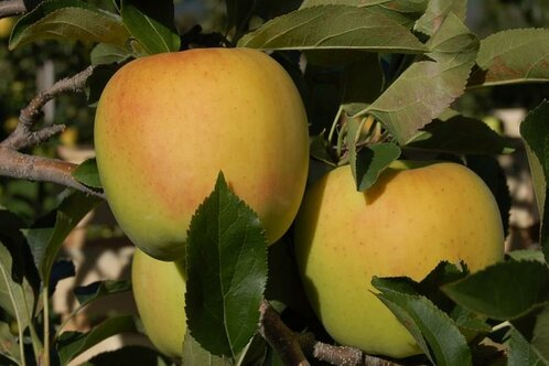 Unsere Golden Delicious