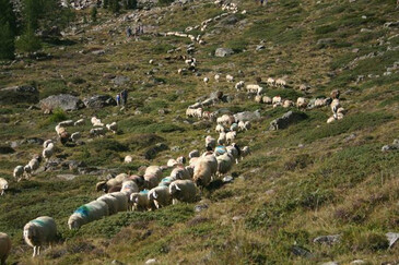 The droving of sheep in the Val Senales/Schnalstal valley | © Magnolia